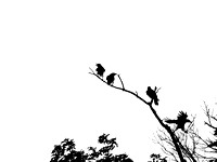 "Crows, Roost, ""Black & White"", Art, Print, Nature"
